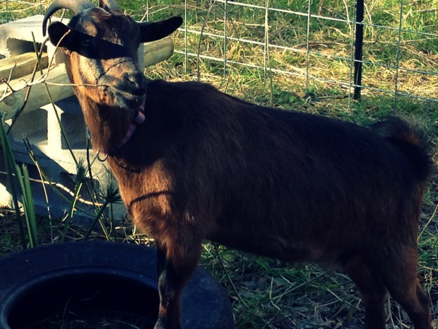 Selecting a Goat Breed for Your Homestead | ChickenGateway.com