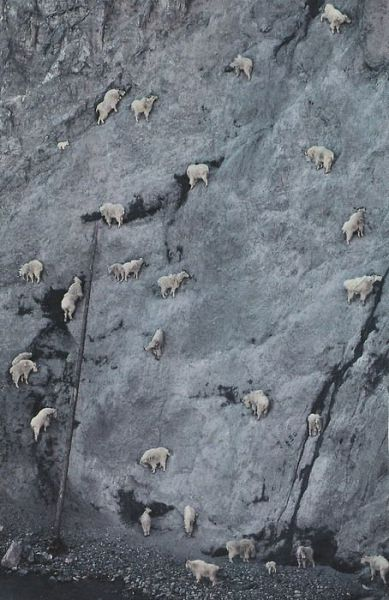 Goats on a Cliff