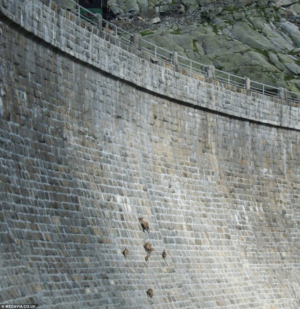 Goats on a Dam Wall
