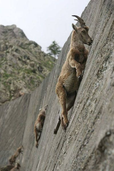 Goats on a Ledge