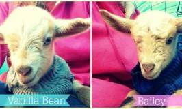 Meet Vanilla Bean & Bailey