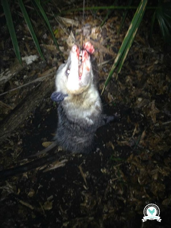 Skin & Prepare Opossum - ChickenGateway.com