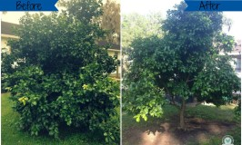 How to Prune Grapefruit Trees