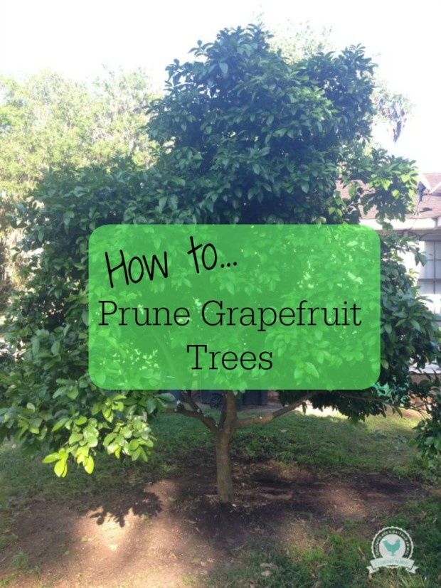 How to Prune Grapefruit Trees | ChickenGateway.com