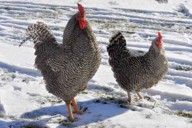 Chicken keeping in winter | Lesa Wilke, Betterhensandgardens.com