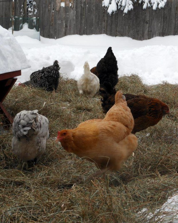 Chicken keeping in winter | Jessica Lane | 104Homestead.com
